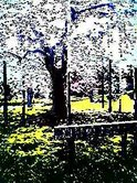 cherryblossom090329_drawing.jpg